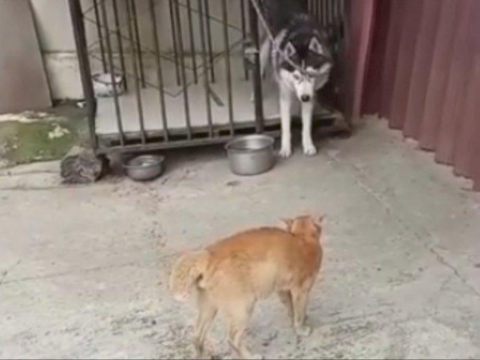 Detik-detik Kucing Oren Bikin Anjing Husky Ketakutan