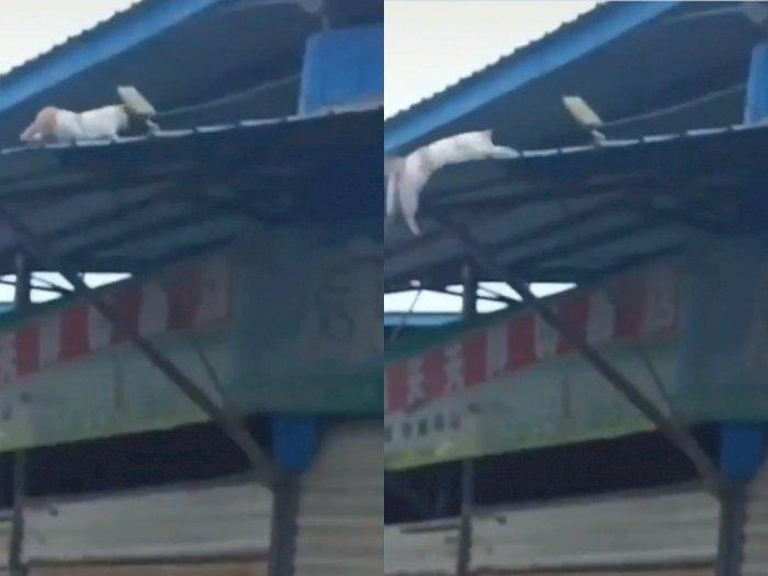 Detik-detik Seekor Kucing Jatuh dari Genteng, Netizen: Nyawa Sisa 8