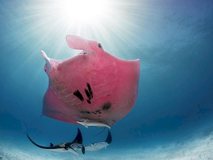 Ikan Pari Berwarna Pink Ini Jadi Ikan Langka di Dunia