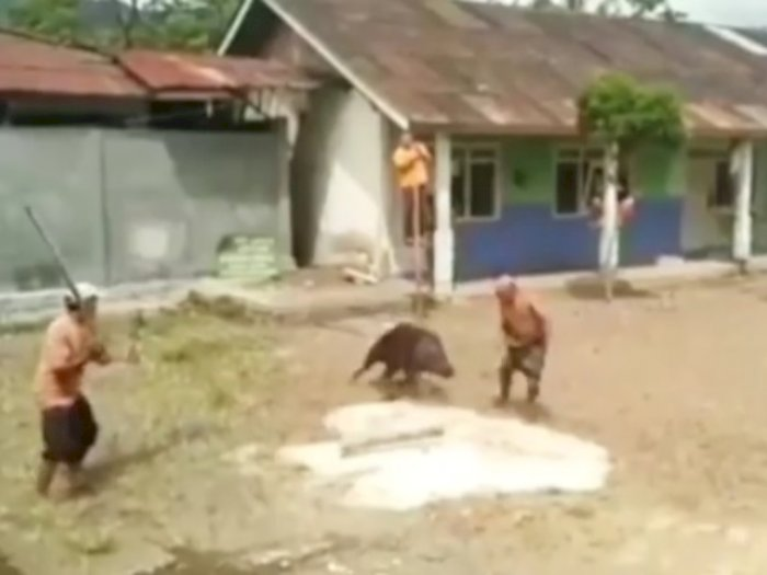 Viral Babi Hutan Serang Warga, Netizen: Mungkin Habitatnya Rusak