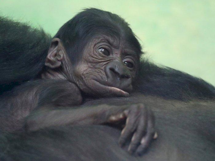 FOTO: Lucunya Bayi Gorila di Kebun Binatang Antwerp, Belgia