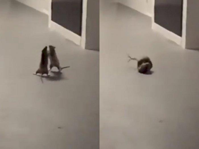 Viral Video Tikus Berkelahi Bak di Ring Tinju, Langsung Bubar saat Kepergok Kucing
