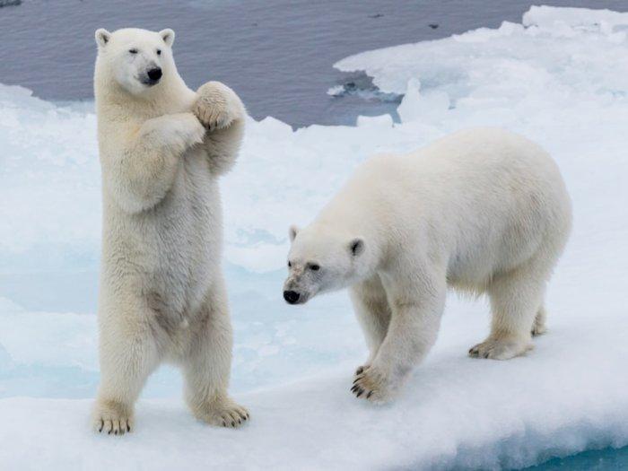 Studi Terkini: Beruang Kutub Diprediksi Punah Tahun 2100
