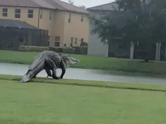 Video: Momen Seekor Aligator Raksasa 'Jalan-Jalan' di Lapangan Golf Saat Hujan