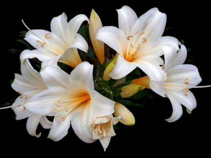Ini Beberapa Makna dari Bunga Pemakaman, Bisa Diberikan Sebagai Tanda Duka