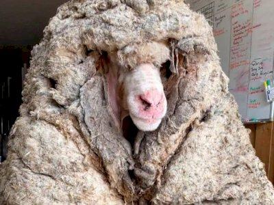 Kasihan! Domba Ini Kesulitan Berjalan Karena Bulunya Sangat Tebal