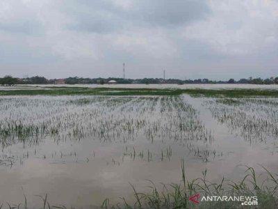 Terendam Banjir, 3.074 Hektare Tanaman Padi di Cirebon Gagal Tanam