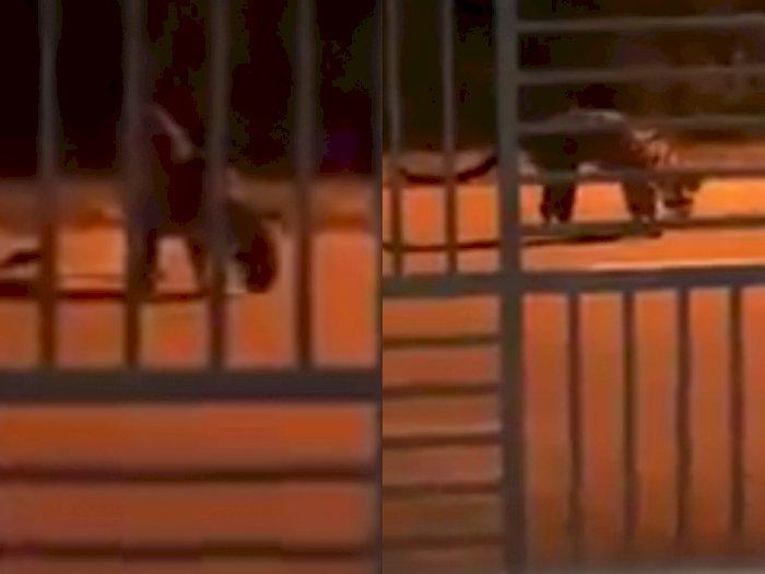 Video Harimau Dahan Berkeliaran di Sekitar Perumahan Warga, Kelaparan dan Cari Makanan