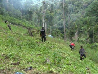 Suburnya Ladang Ganja di Mandailing Natal, Polisi Langsung Musnahkan