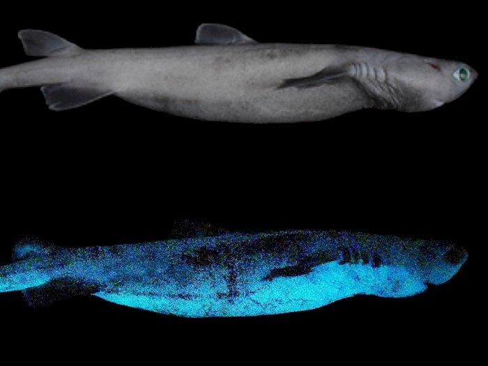 Penemuan Menakjubkan 3 Spesies Hiu Glow In The Dark di Selandia Baru