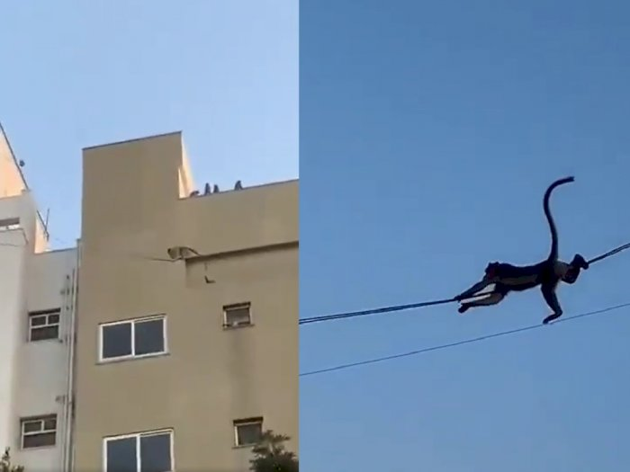 Aksi Para Monyet Jadikan Kabel Listrik untuk Wahana Perosotan dari Atas Gedung, Seru!