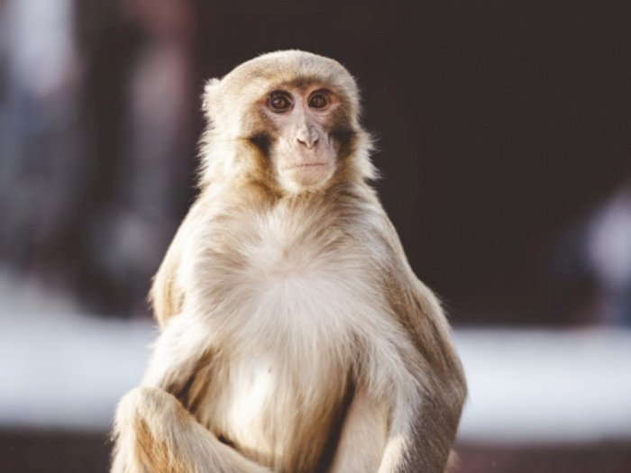 Sedang Bermain Bulu Tangkis Bersama Teman, Wanita Ini Diserang Monyet Hingga Tewas