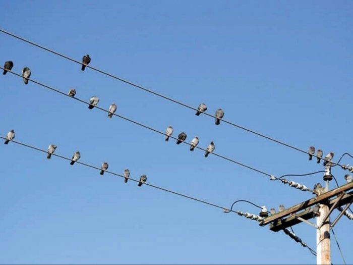Suka Hinggap di Kabel Listrik, Mengapa Burung Tidak Kesetrum?