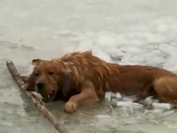 Terjatuh ke Danau, Anjing Ini Menolak Melepaskan Bola yang Dipegangnya saat Diselamatkan