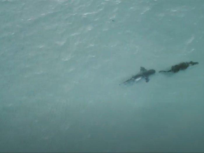 Momen Menegangkan Hiu Mengejar Buaya di Laut Lepas Pantai Australia