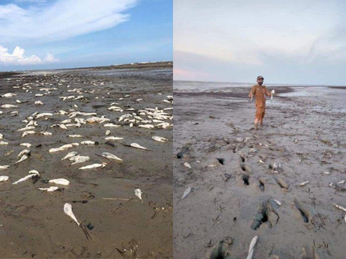 Viral Foto Ribuan Ikan Mati di Pinggir Pantai di Batu Bara, Diduga Keracunan Limbah Kimia