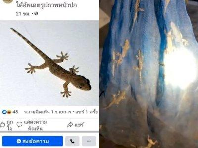 Tawaran Harga Cicak Naik hingga Rp137 Juta, Warganet Thailand Ramai Buru Cicak & Budidaya