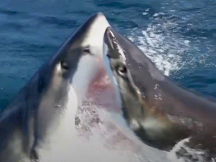 Viral Hiu Putih Besar yang Liar Saling Serang saat Ingin Mengambil Umpan dari Pemancing