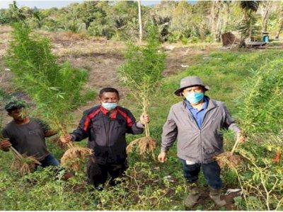 Petani Ini Tanam Ganja di Ladangnya, Ngaku Untuk Dijual dan Konsumsi Sendiri