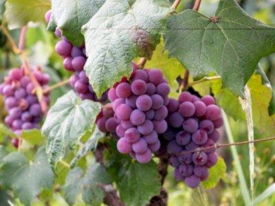 Peneliti Temukan Fosil Pohon Anggur Sebagai Spesies Baru!