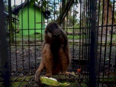 Owa Ungko Ini Akhirnya Dilepasliarkan ke Alam Setelah 6 Tahun Dipelihara