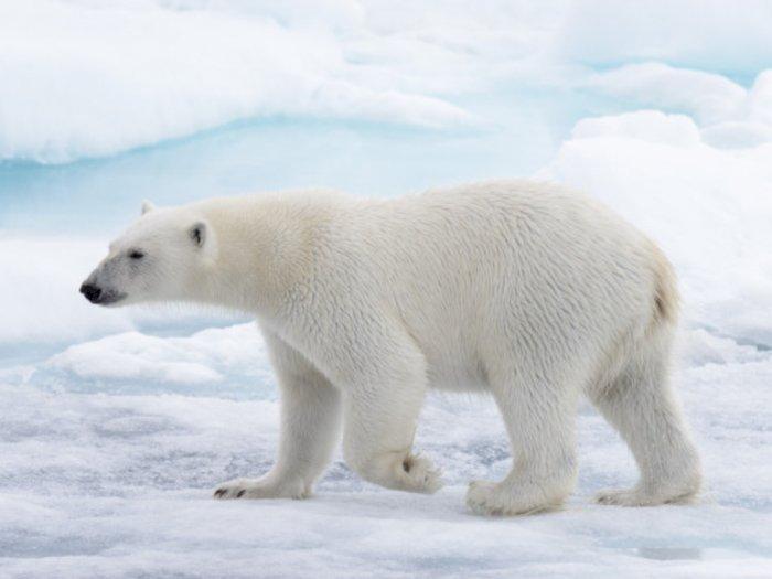 Bulu Beruang Kutub Kelihatan Warna Putih, Ternyata Hanya Ilusi Optik
