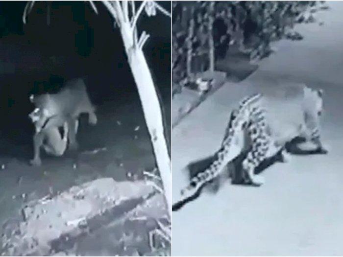 Momen Mengerikan Macan Tutul Menyerang Anjing Peliharaan yang Sedang Tidur