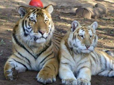 Pekerja Kebun Binatang Diserang Secara Fatal oleh Harimau Setelah Pagar Listrik Dimatikan