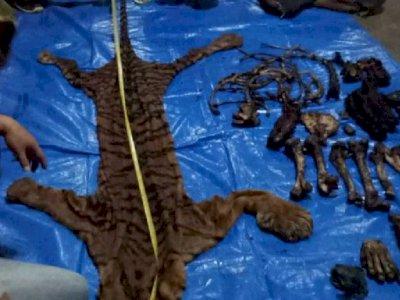 Pelaku Perdagangan Kulit dan Organ Harimau Sumatera Ditangkap di Bengkulu
