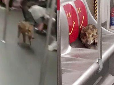 Video Bayi Babi Tersesat di Kereta Api Hong Kong, Malah Duduk di Kursi Prioritas