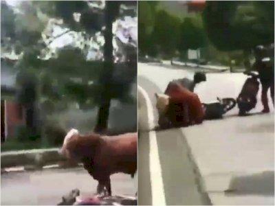 Waduh! Seekor Sapi Ngamuk di Jalan Raya Tuban Jatim, Seruduk Sejumlah Pengendara Motor