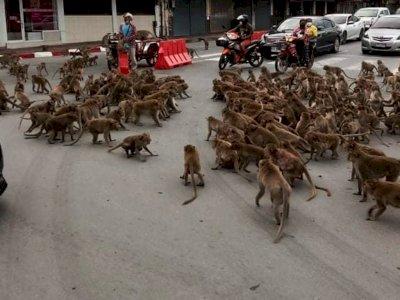 Viral Video Ratusan Monyet 'Tawuran' di Tengah Jalan dan Mengganggu Lalu Lintas