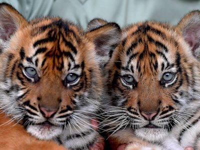 FOTO: Melihat Bayi Harimau Sumatera di Taman Safari Prigen