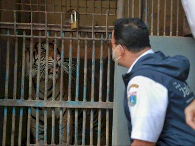 Dua Harimau Sumatera di Ragunan Positif COVID-19, Alami Gejala Flu, Lemas dan Sesak Napas