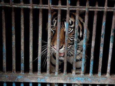 Anies Baswedan Kunjungi Harimau Positif COVID-19 di Ragunan: Alhamdulillah Berangsur Pulih