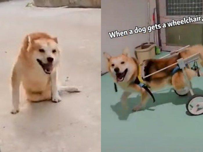Momen Saat Seekor Anjing yang Menderita Lumpuh Dihadiahi Kursi Roda, Bikin Haru
