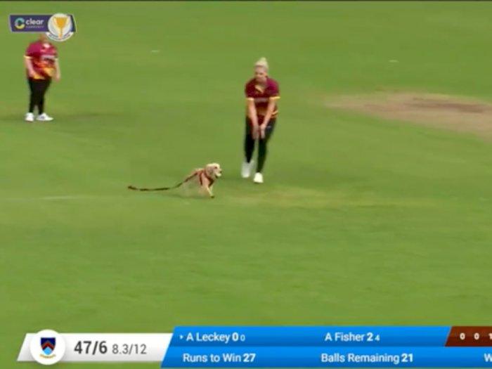 Momen Seekor Anjing Terobos Pertandingan Kriket, Curi Bola dan Bikin Pemain Kocar-kacir