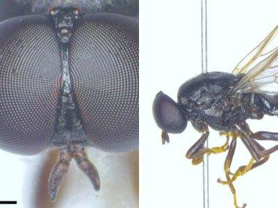 Peneliti Temukan Spesies Baru Lalat Jendela di Finlandia, Dinamai Scenopinus Jerei!