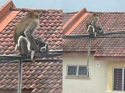 Potret Seekor Monyet Asyik Nongkrong di Kabel Listrik, Sekalian 'Nyulik' Anak Anjing