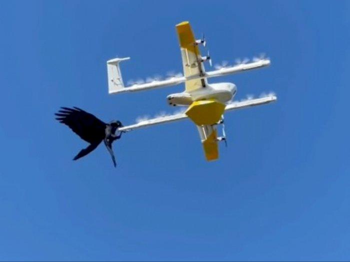Dianggap Musuh! Drone Ini Diserang Burung Gagak saat Mengirimkan Makanan