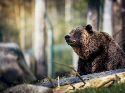 Kejadian Unik Terjadi di Kanada, Seekor Beruang Grizzly Mati di Tangan Kambing Gunung