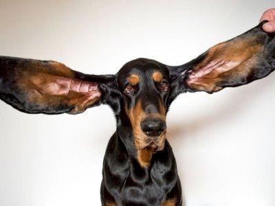 Sabet Rekor Dunia, Anjing Ini Punya Telinga Sepanjang  31 CM
