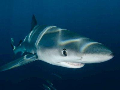 Mengenal Hiu Megalodon, Ikan Raksasa yang Punah Karena Suhu Tubuh Terlalu Panas