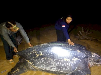 Penyu Terbesar di Dunia Muncul di Pantai Paloh Kalimantan Barat