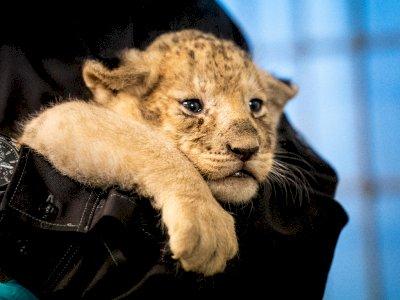 FOTO: Potret Menggemaskan Bayi Singa di Kebun Binatang Kopenhagen