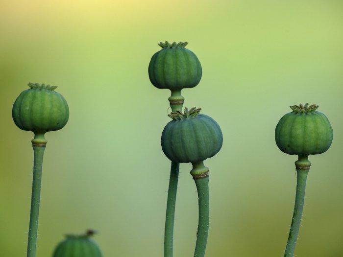 Sejak Taliban Berkuasa, Harga Tanaman Haram Opium Melonjak Tinggi, Petani Diuntungkan