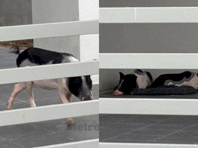 Usai Ngontrak, Orang Ini Tinggalkan 2 Ekor Babi di Rumah Sewa, Bikin Resah Para Tetangga