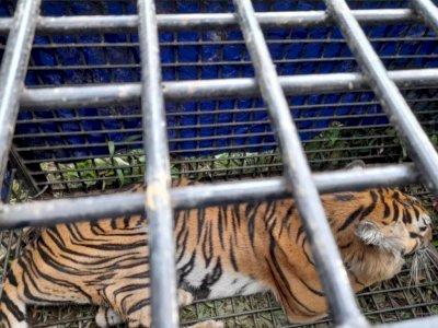 Terkam 2 Warga Merangin Jambi, Harimau ini Berhasil Ditangkap oleh Tim Gabungan