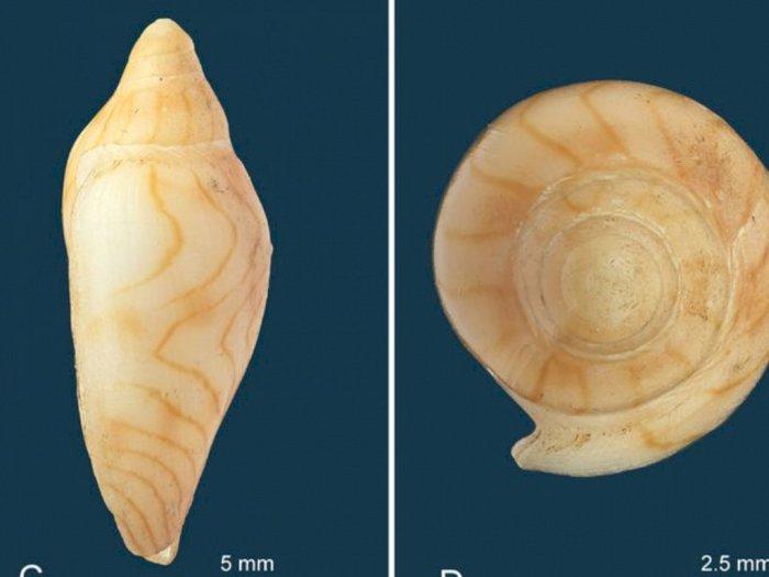 Mengenal Amoria thorae, Spesies Baru dari Moluska yang Berhasil Ditemukan