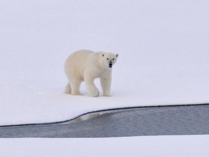 Penelitian Mengatakan bahwa Beruang Kutub akan Punah pada Tahun 2100